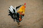 One of the many colorful roosters that freely wander around the island